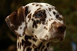 dalmatian-568645__180