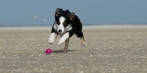 young-border-collie-662706_640